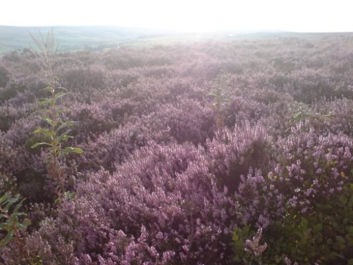 Heather on the high hills